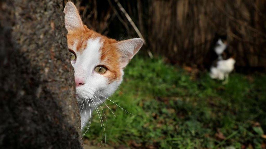 Descubren una nueva especie de gato en la isla de  Córcega