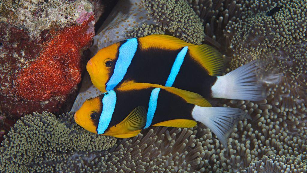 Los peces también se enamoran: dramáticos como los humanos