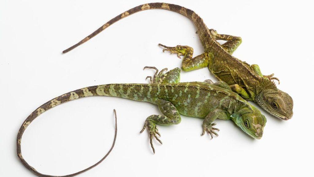 Nacen crías de dragón verde de una madre virgen