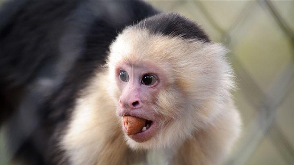 Monos salvajes de Brasil llevan 3.000 años usando herramientas