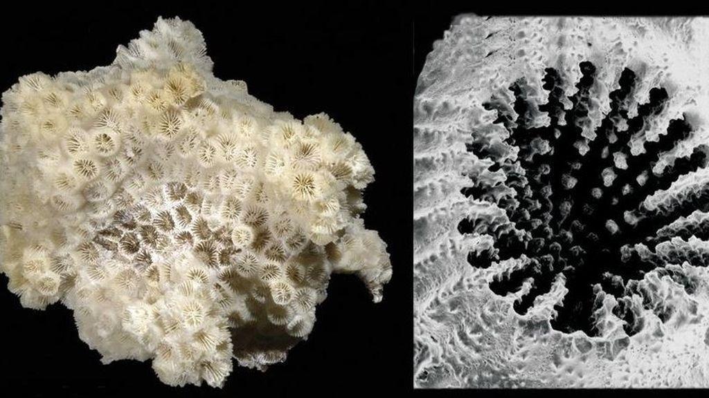 Un coral prefiere comer microplásticos a alimentos naturales