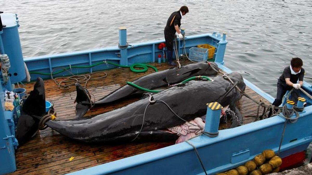 El lunes volverá a ser legal la caza comercial de ballenas en Japón después de 30 años