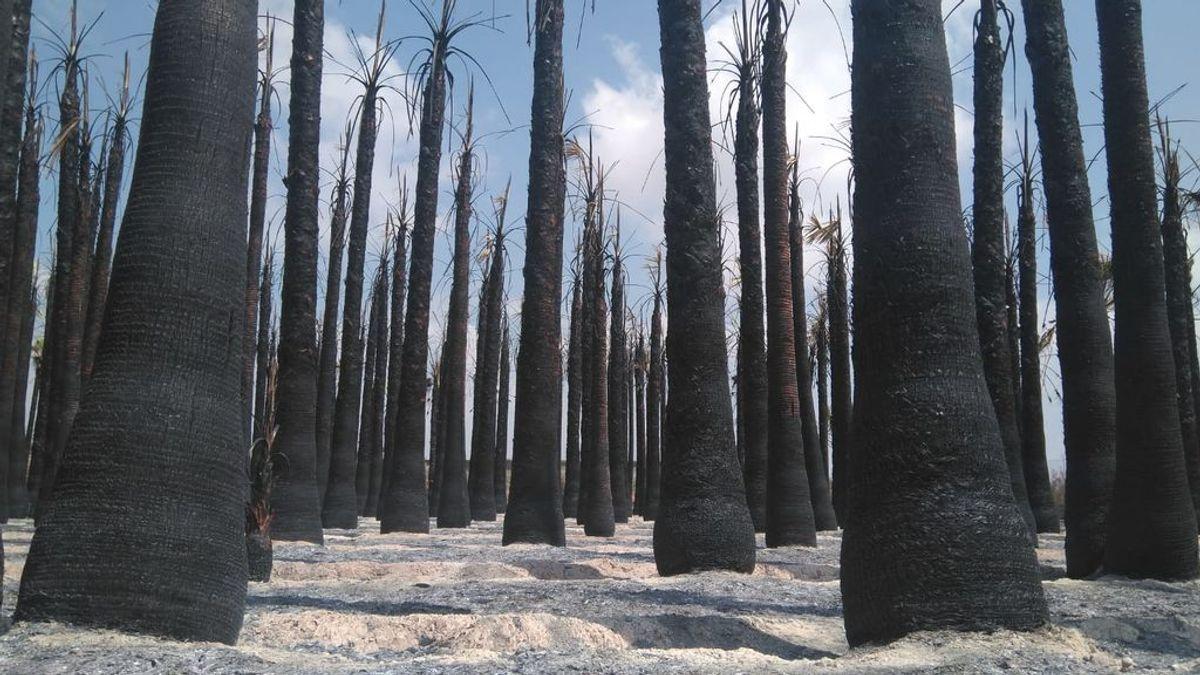 La policía busca a un pirómano tras el incendio de más de 8.000 palmeras en Elche