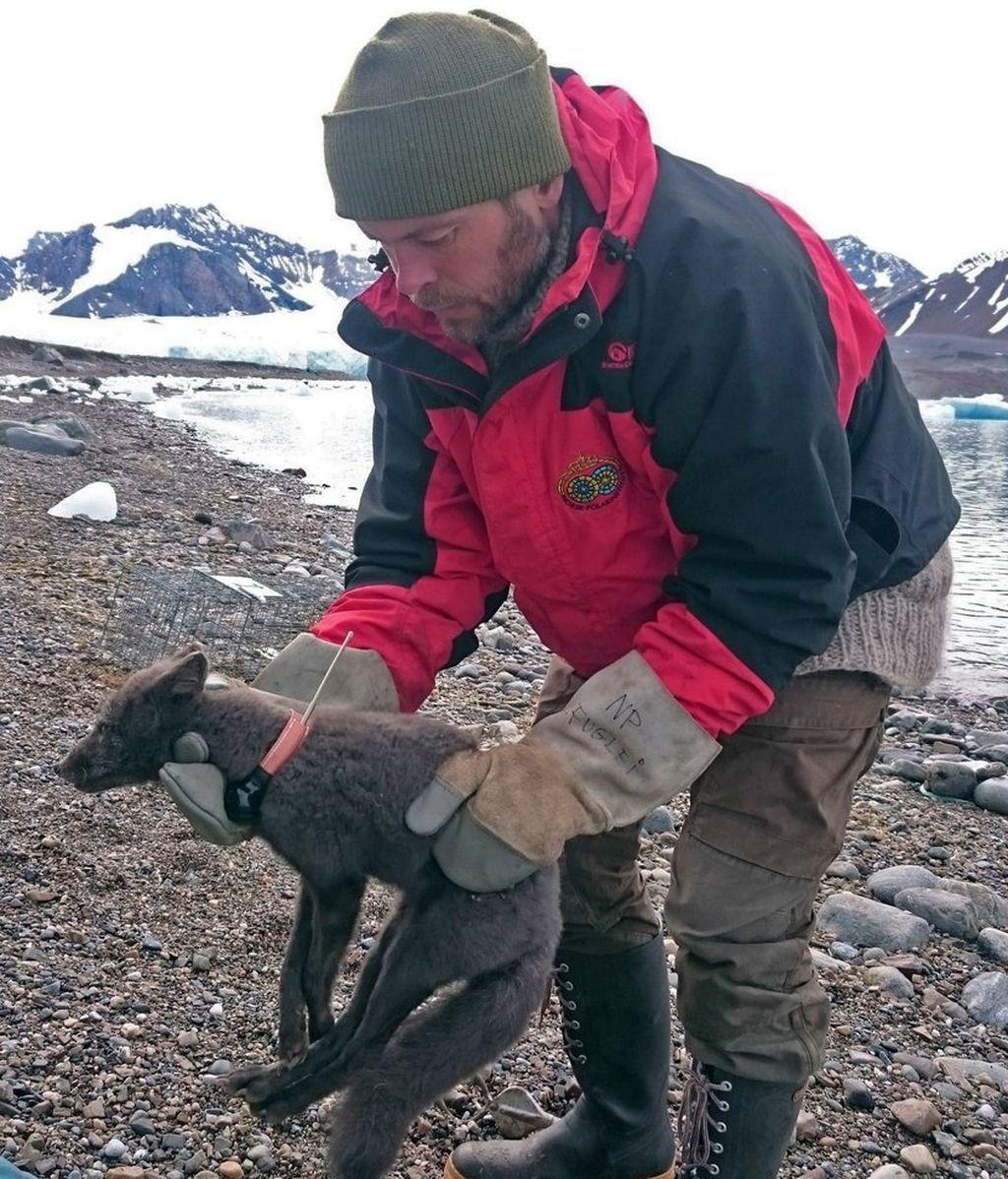El increible viaje de una hembra de zorro entre Noruega y Canadá