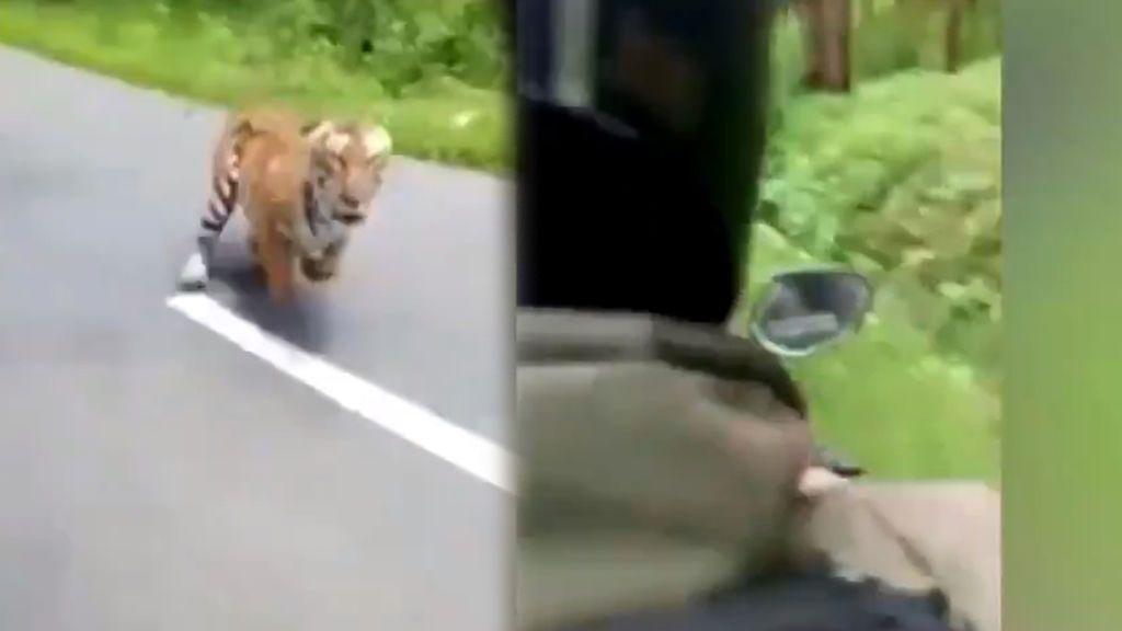 El enfurecido ataque de un tigre a dos motoristas en una carretera de la India