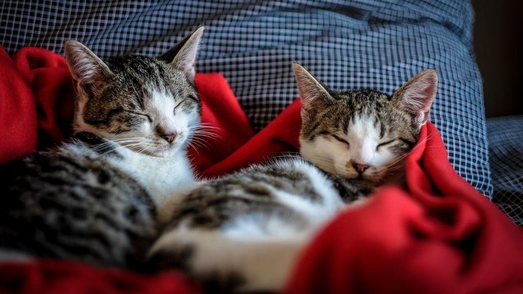 Gatete infiltrado: cuando descubres que tu gato no lo es y es un impostor