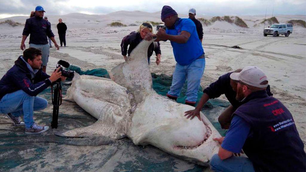 Las orcas: el terror de los tiburones blancos, que se están quedando sin cotos de caza