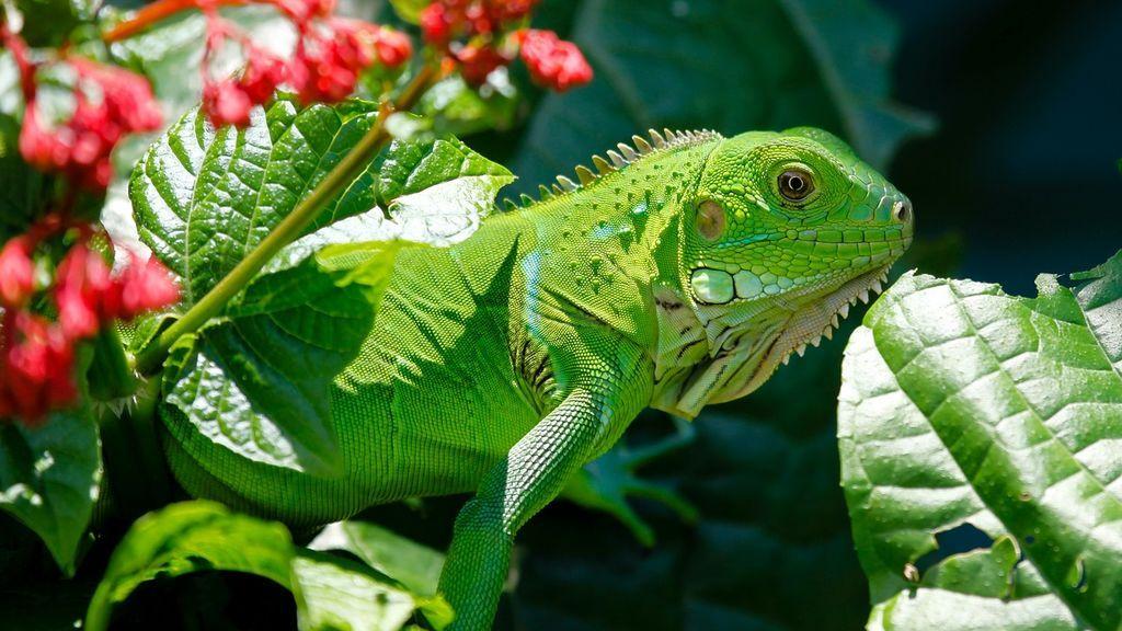 Florida pide a sus ciudadanos matar a las iguanas para evitar una plaga