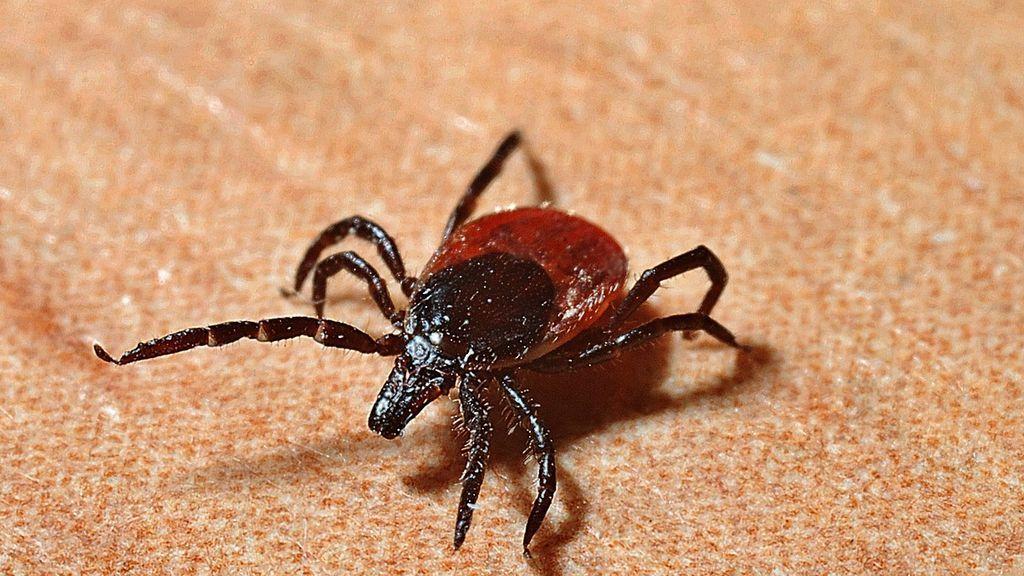 Cómo actuar según el tipo de picadura: abeja, araña, escorpión o garrapata