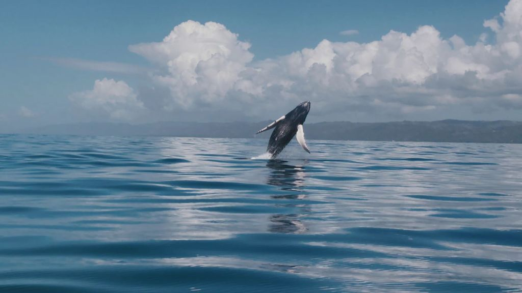 El apareamiento de las ballenas jorobadas