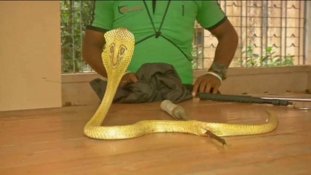 Veterinarios salvan a una cobra atravesada por una flecha en la India