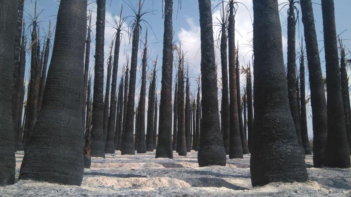 La policía detiene al pirómano que ha quemado más de 8.000 palmeras en Elche en menos de un mes