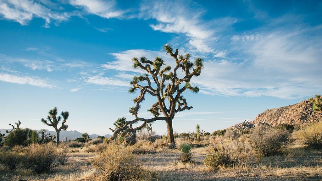 Los árboles de Josué afrontan su extinción
