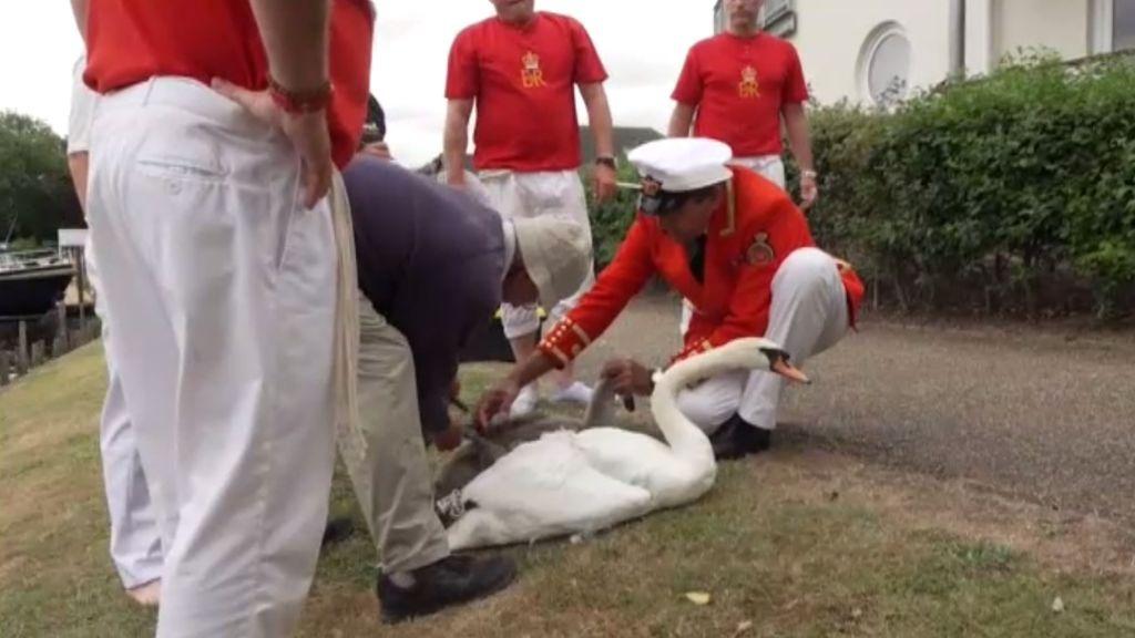 La Guardia Real británica recuenta cisnes en el Támesis por orden de la Casa Real