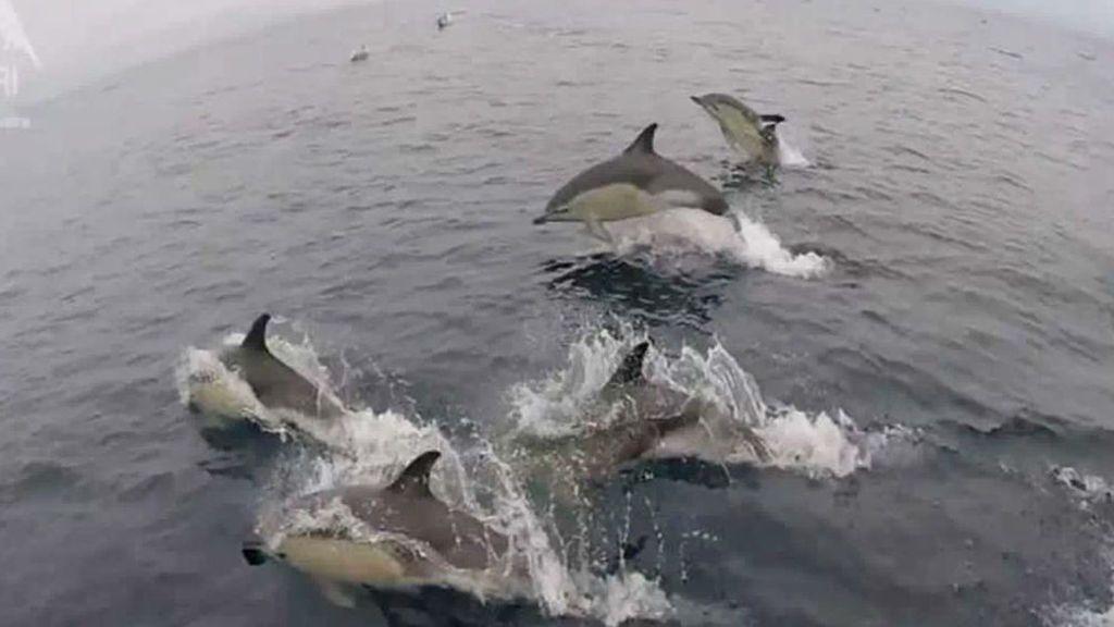 Un grupo de delfines hace las delicias de los turistas en California