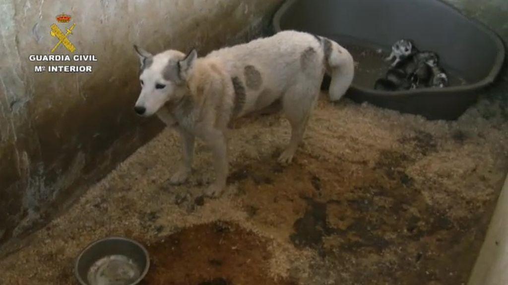 Detienen al propietario de un criadero con más de 100 perros hacinados
