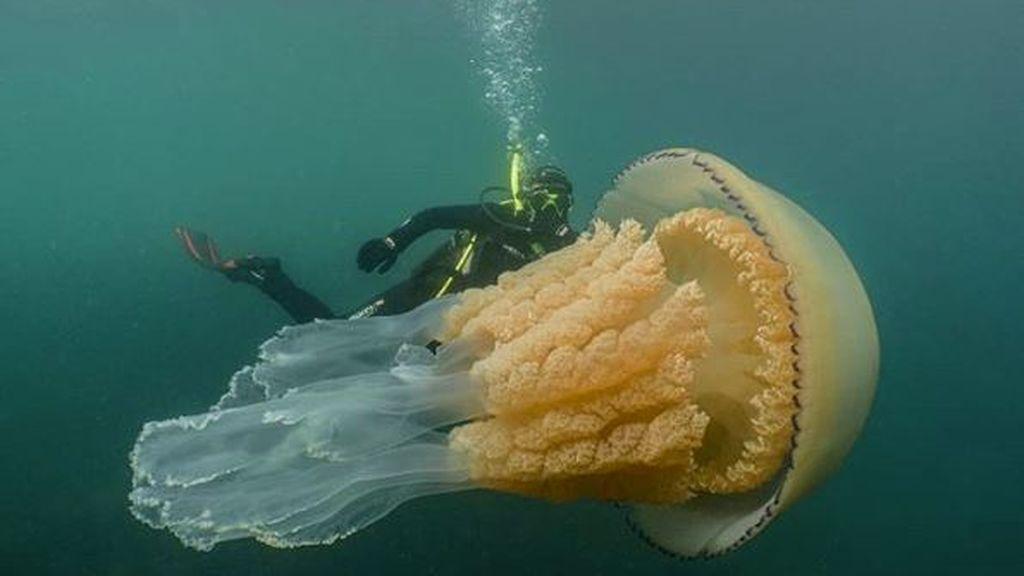 Medusa gigantesca en el Atlántico: sorprendió a dos submarinistas a los que igualaba en tamaño