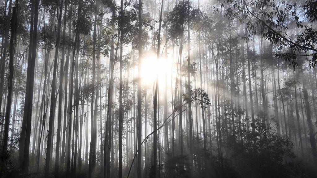 La amenaza del eucalipto: su expansión está trayendo serias consecuencias al norte de España
