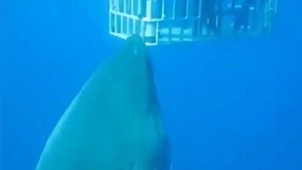 Graban al tiburón blanco más grande nunca visto