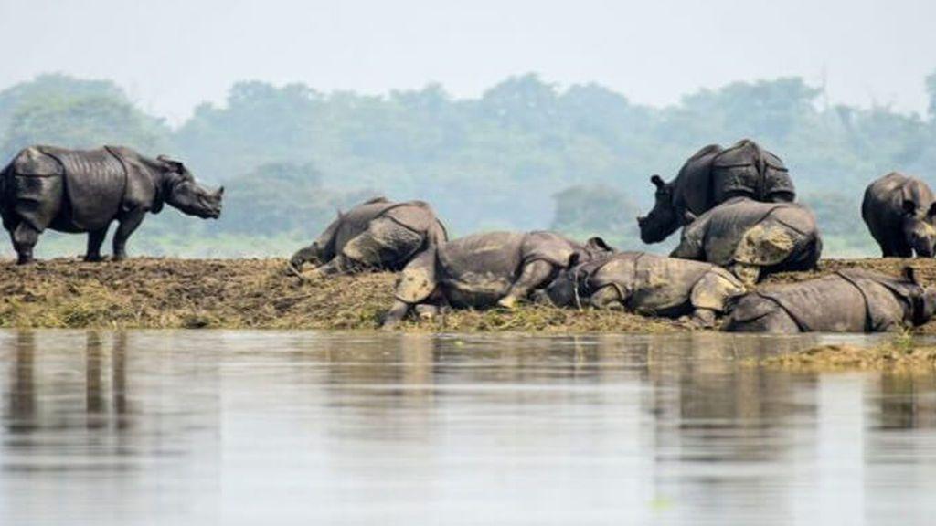 17 rinocerontes de un cuerno y centenares de animales más han fallecido tras las graves inundaciones de La India