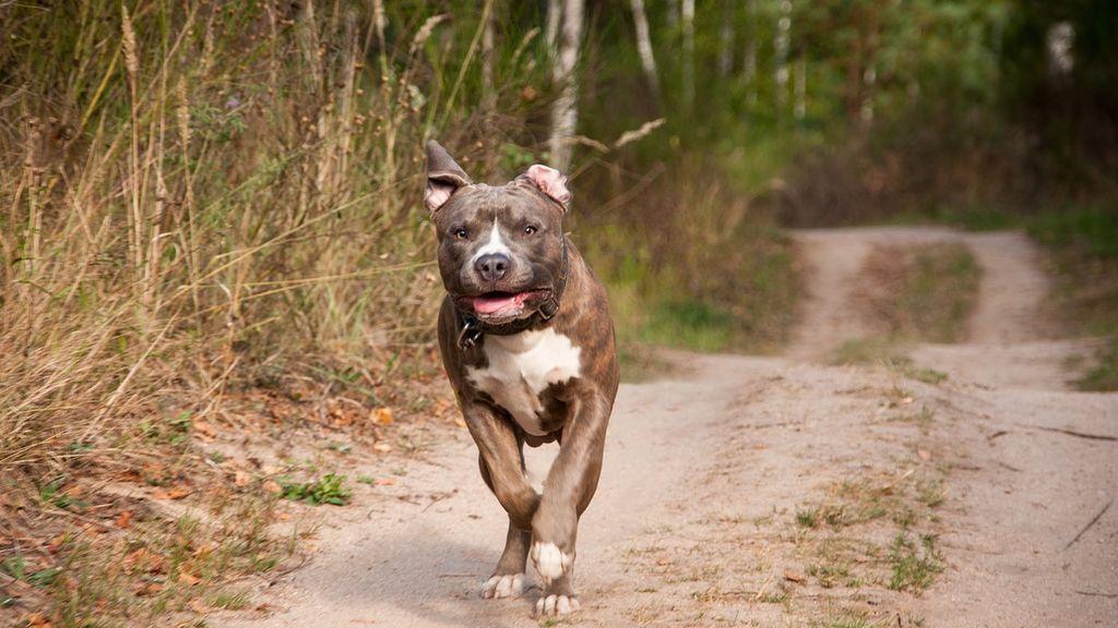 Maltrato animal: un perro abandonado persigue a sus dueños en el taxi en el que huían de él