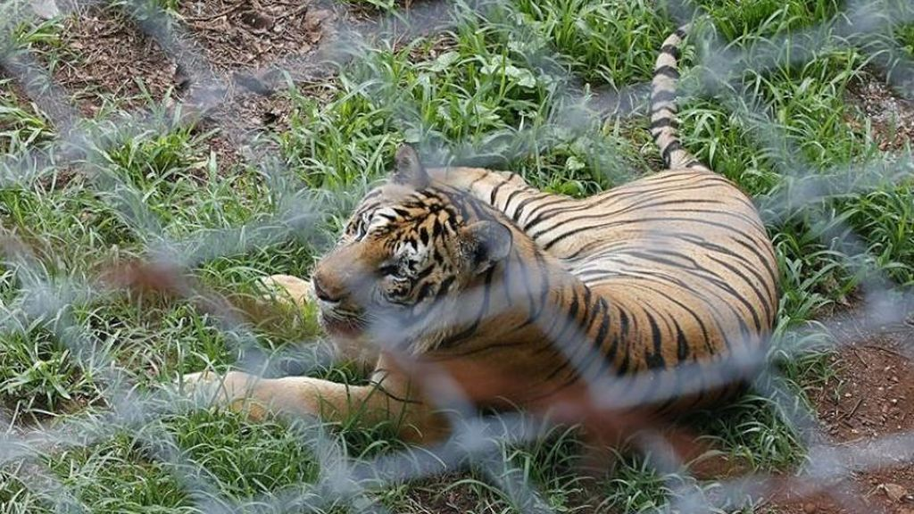 Encuentran en Vietnam 7 tigres congelados en un coche que habían sido importados ilegalmente