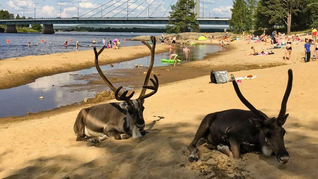 Los renos se abrasan en la playa: Finlandia alcanza 33,8ºC, su temperatura más alta desde 1945