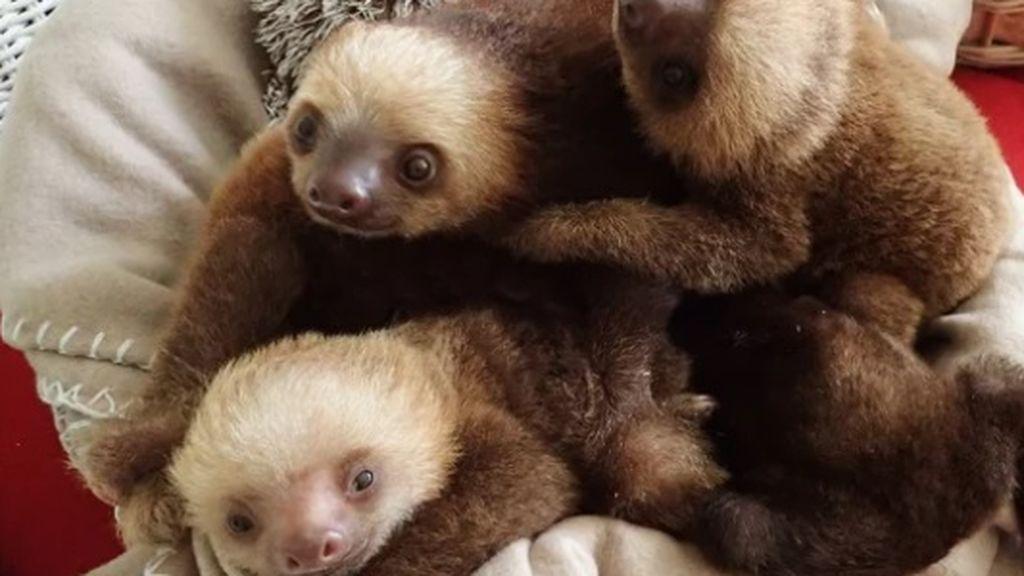 Estos seis adorables osos perezosos han conquistado a la Red: han sido rescatados y vivirán en un zoológico