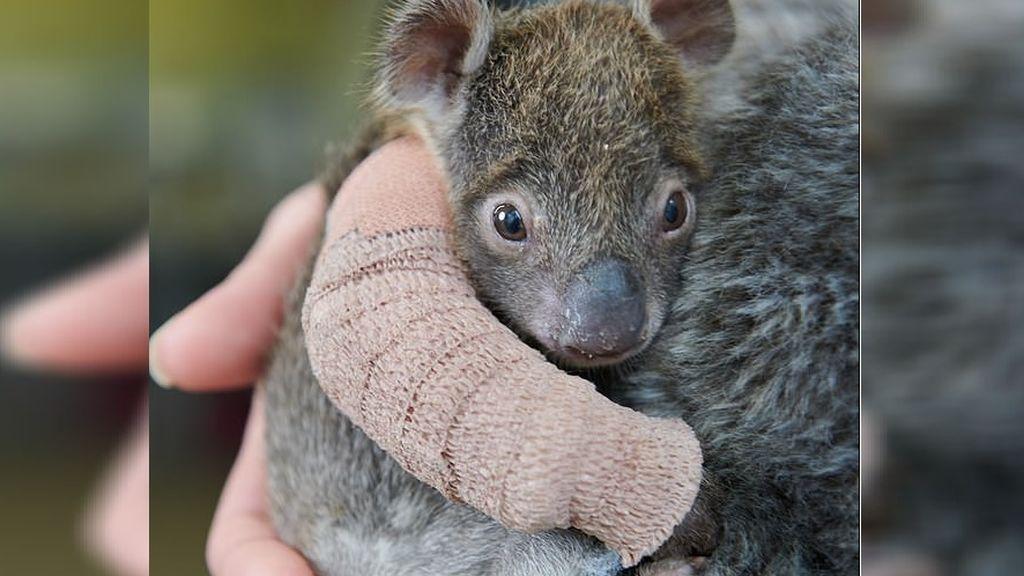 El adorable Joey: este bebé de koala huérfano ha conquistado a la Red con su pequeña escayola