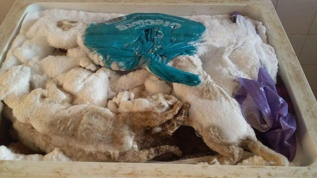 Cachorros con convulsiones e incluso muertos en un congelador: las terribles condiciones de un criadero de leones en Sudáfrica