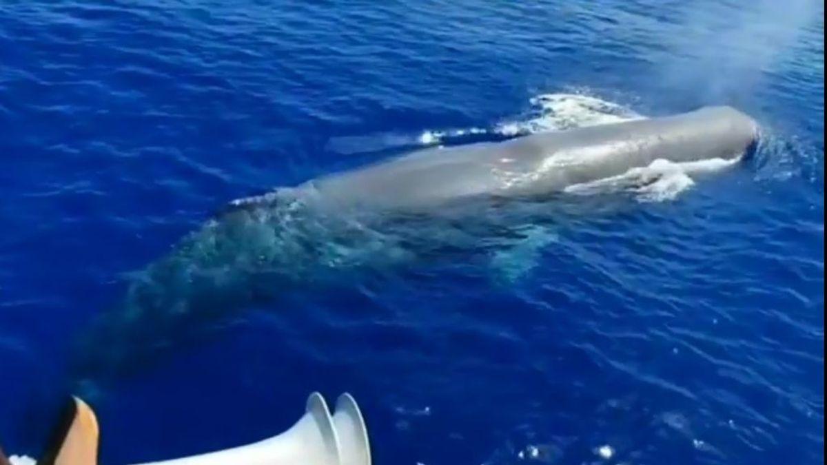 Los tripulantes de un barco avistan un cachalote nadando a su lado en aguas de Mallorca