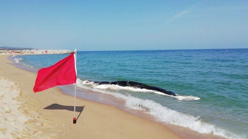 Cerrada al baño una playa de Mataró por la aparición de un cetáceo muerto en descomposición