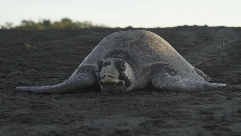 Playa Ostional es el paraíso de las tortugas: ¡cada dos semanas llegan un millón y medio!