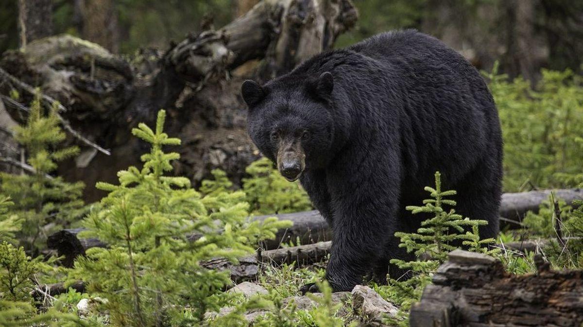 black-bear-1170229_960_720