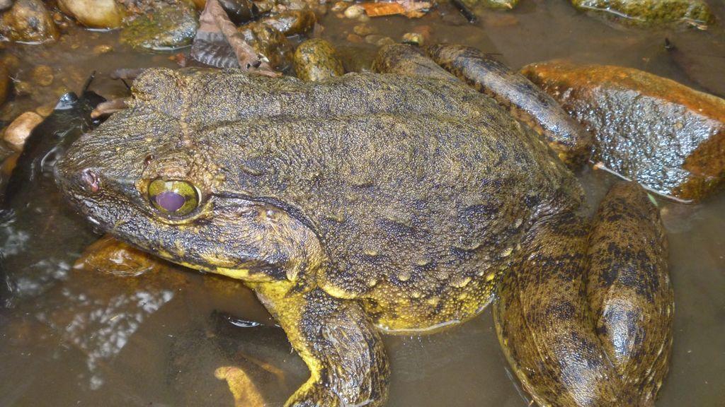 Lo nunca visto en otro anfibio africano: descubren a ranas Goliat moviendo rocas y haciendo guardia