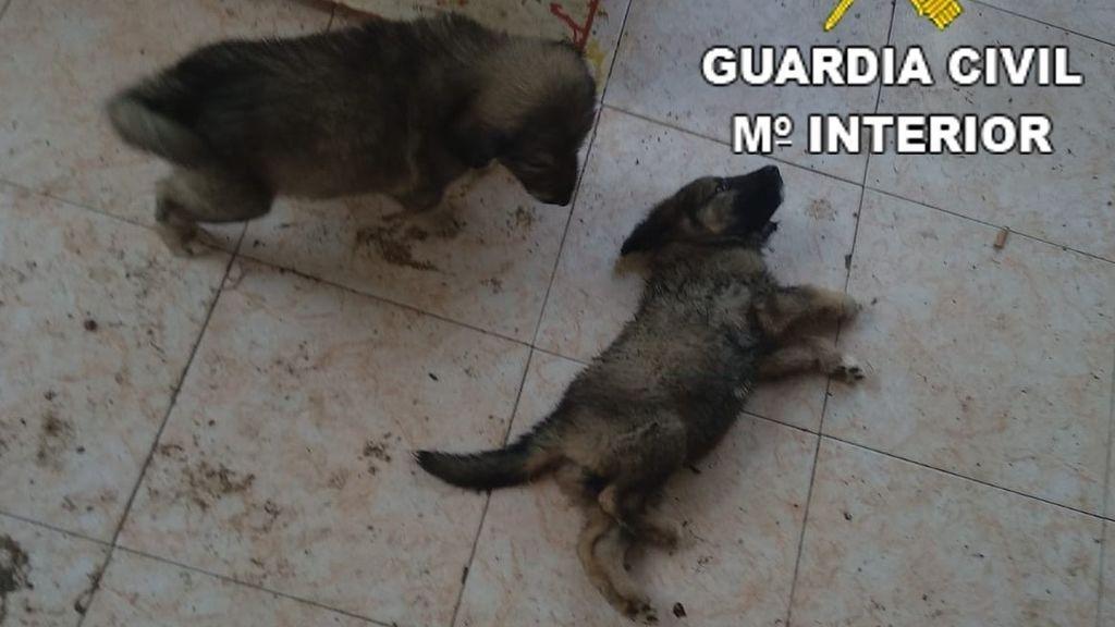 Rescatan a 11 perros, seis de ellos cachorros, desnutridos, abandonados y enfermos en Benicarló (Castellón)