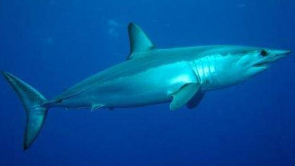 Susto en una playa coruñesa: varios bañistas abandonan el agua tras avistar tiburones marrajo