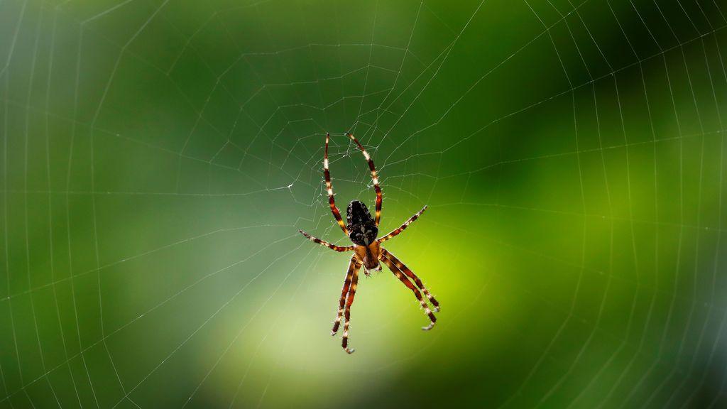 Arañas agresivas: los ciclones y desastres naturales les están forzando a adaptar su comportamiento