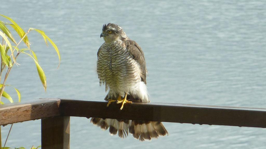 sparrowhawk-431073_960_720