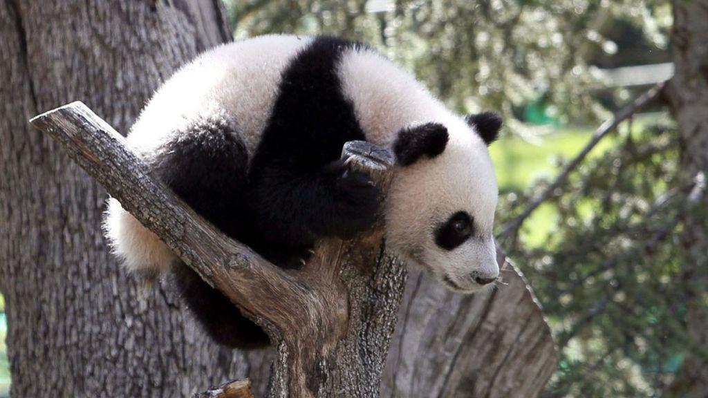 Cuidador de bebés panda, este joven posiblemente tenga el trabajo más envidiado