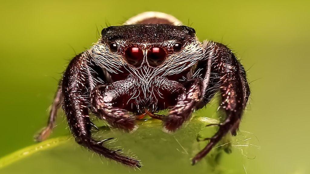 Acude al médico por un dolor de oído y descubren que tiene una araña violinista en su interior
