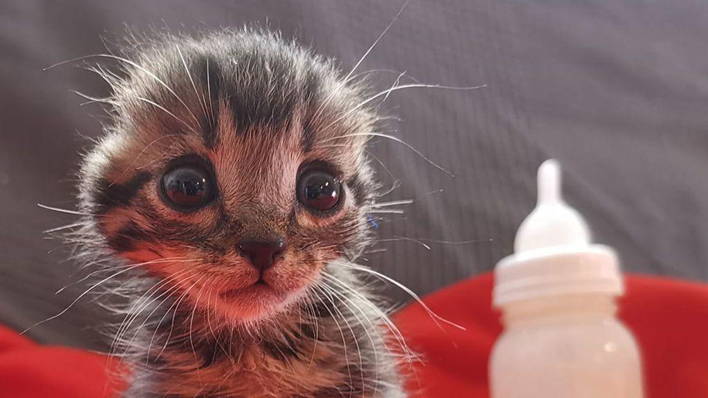 Buscan un hogar para Nano, el gatito al que mutilaron las orejas