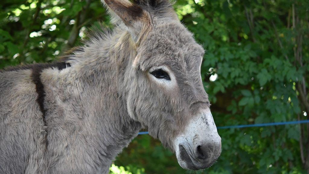 Pacma denuncia un posible caso de maltrato de un burro durante unas fiestas populares en Vizcaya