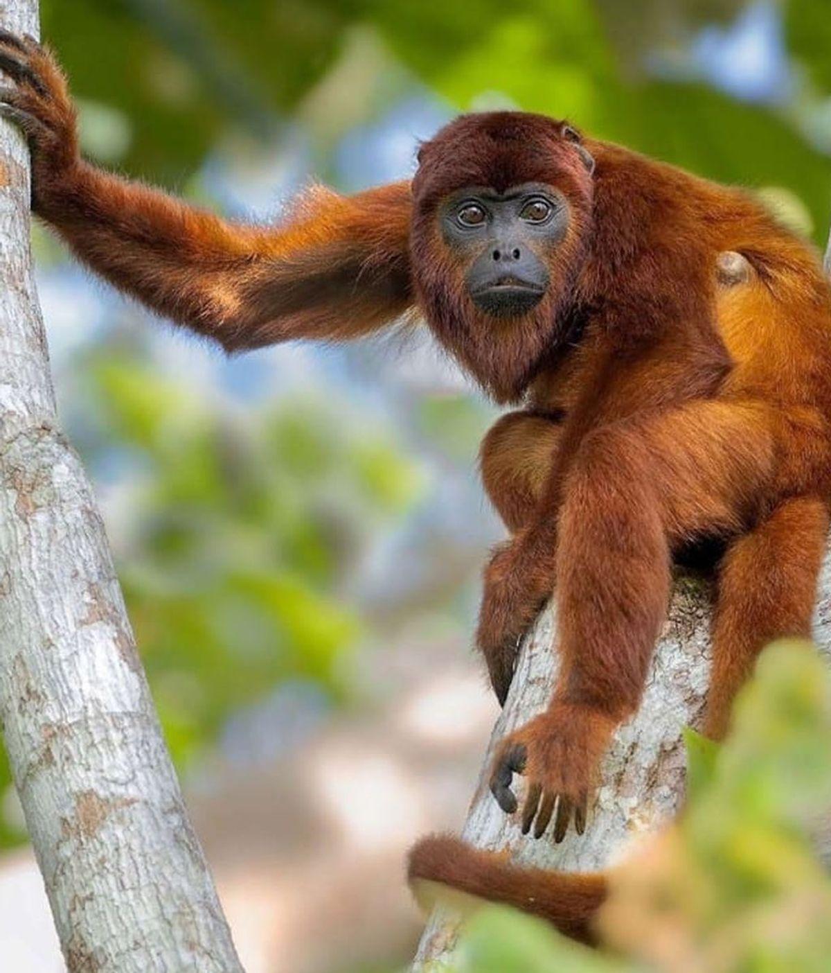 Treinta animales de la selva amazónica están en peligro de extinción