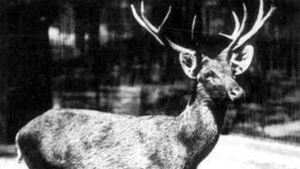 Revive un ciervo extinto desde hace 80 años sin ayuda científica