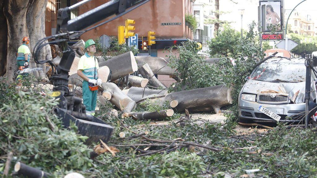 Operarios de Parques y Jardines realizan labores de recogida del emblemático árbol Ficus en Málaga