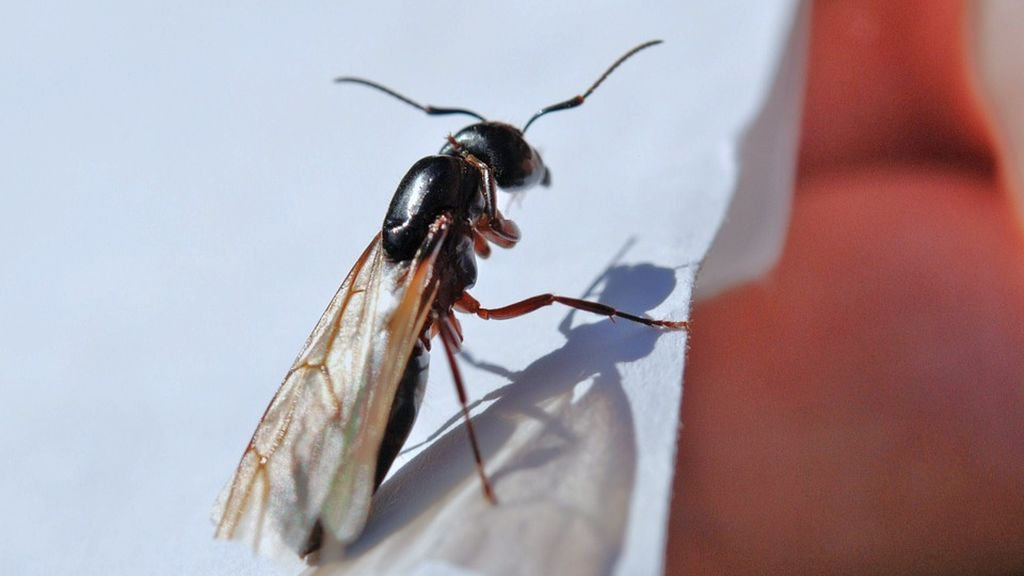 Hormigas voladoras: por qué estás viendo tantas