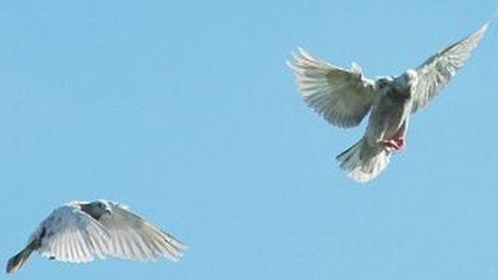 Las palomas no pueden sobrevolar Beijing antes del 70 aniversario de China