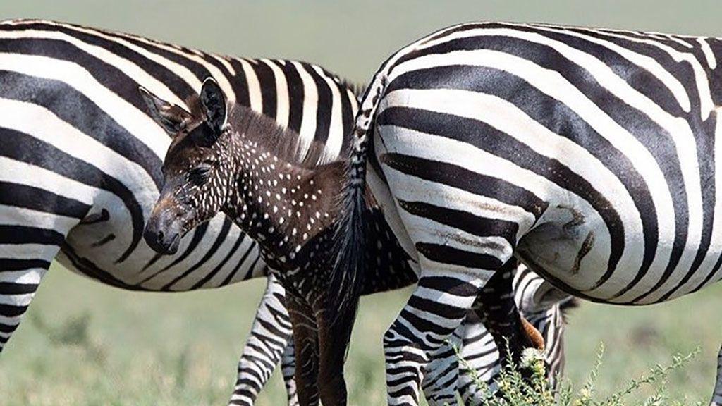 Nace una cebra con lunares en vez de rayas en el parque nacional Masái Mara, en Kenia