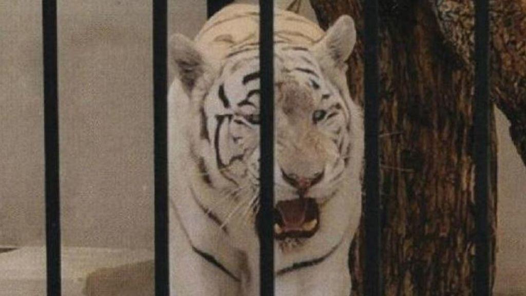 """Investigan la tenencia de un tigre albino como """"mascota de lujo"""" en un chalet de Alicante"""